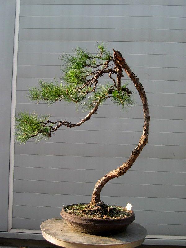 549 besten bonsai bilder auf pinterest bonsai pflanzen for Bonsai pflanzen