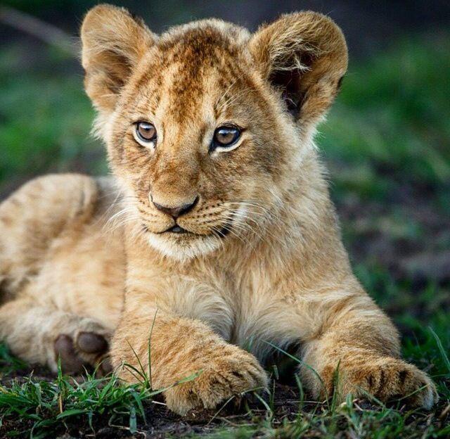 Pin Von Iris Gonyea Auf Lion Pictures Susse Tiere Grosskatze