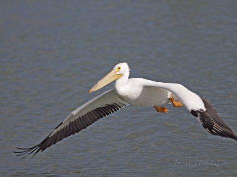flying pelican paintings | American White Pelican Flying (Pelecanus Erythrorhynchos), North ...