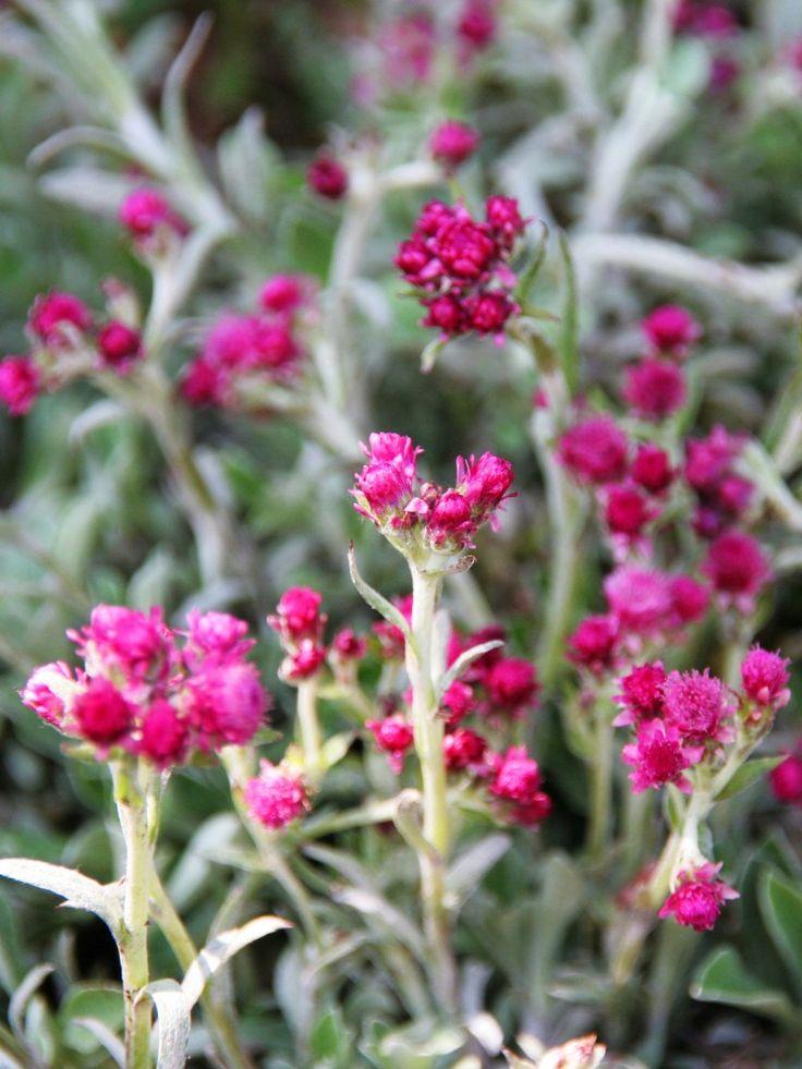 Kattfot, Antennaria dioica 'Rubra' - Röda blommor. Silverskimrande växt som förekommer i hela Sverige. Bladen är grågröna med vithårig undersida. Blommar maj-juni.