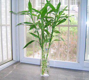 O bambú da sorte deve ser colocado onde estiver a estrela 4, de Árvore, que favorece os estudos. Ele não precisa ser enrolado. - www.alinemendes.com.br