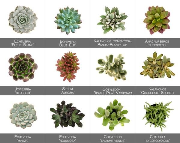 Succulent Pictorial Guide Succulents