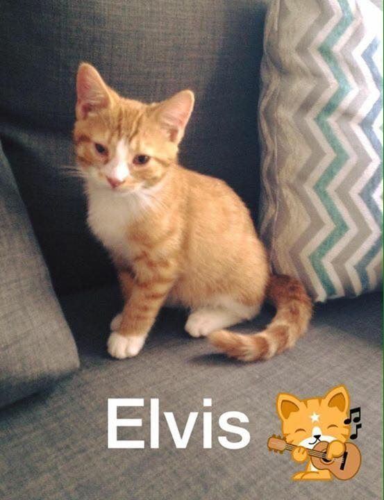 #Montreal news ~ ELVIS, adorable, super sweet rescue kittie found a loving forever home today #adoption Thank you!! Viisit www.facebook.com/cause4paws for details and share widely! Contact: montrealcause4paws@gmail.com