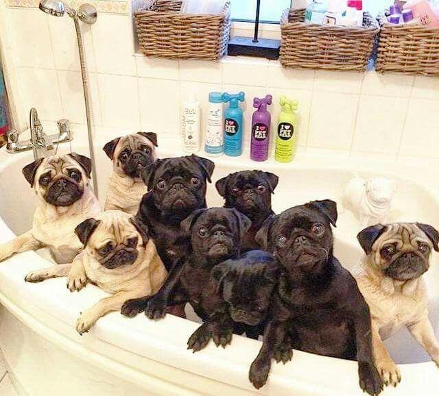 Rub a dub dub, 9 Pugs in a tub