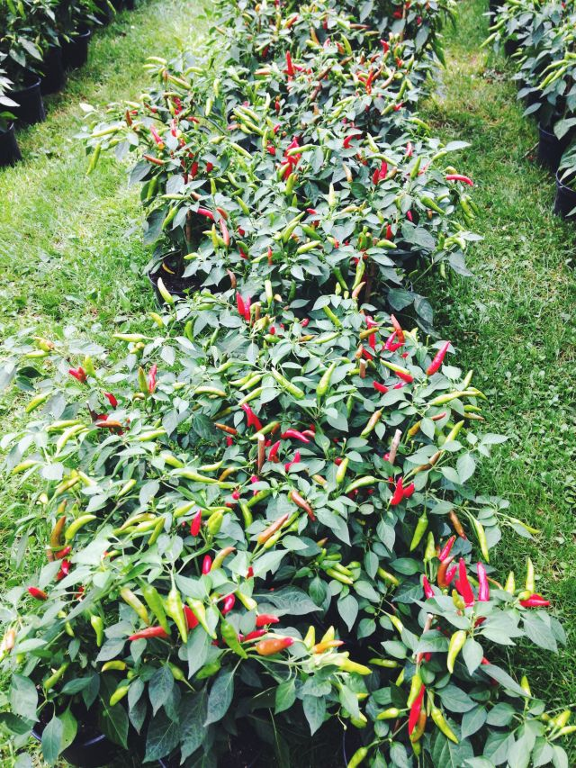 14 Best Images About Chillies On Pinterest Trees 640 x 480