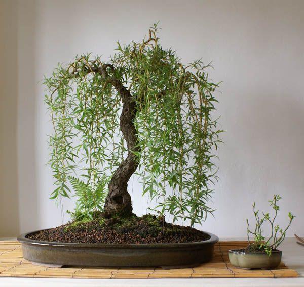 mimosa bonsai tree | Bonsai tree - Salix babylonica