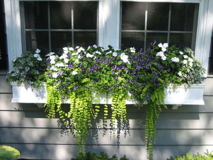 White Splash Coleus, Torenia Prurple Moon, White Impatiens and Sweet Potato Vine window box