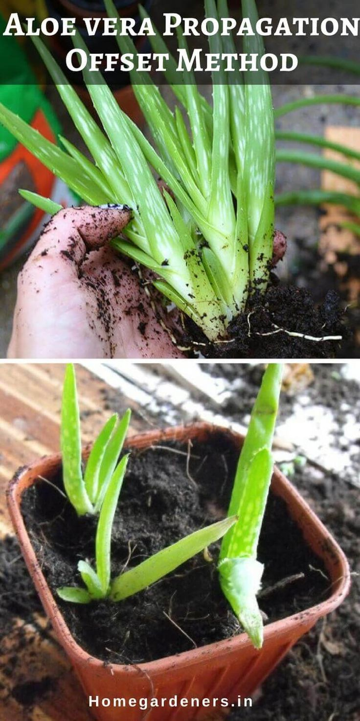 Instead of growing aloe vera plant from leaf you can start growing them from an offset (also known as pups), part of the main plant.