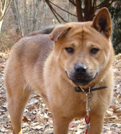 Chow Shepherd Gsd Mixed With Chow Chow Pinterest