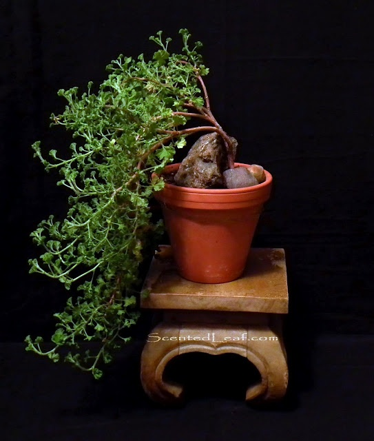 Pelargonium Citrosum cascade bonsai