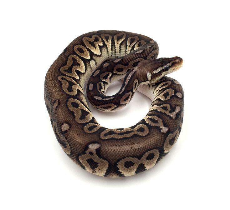 Python regius Pewter