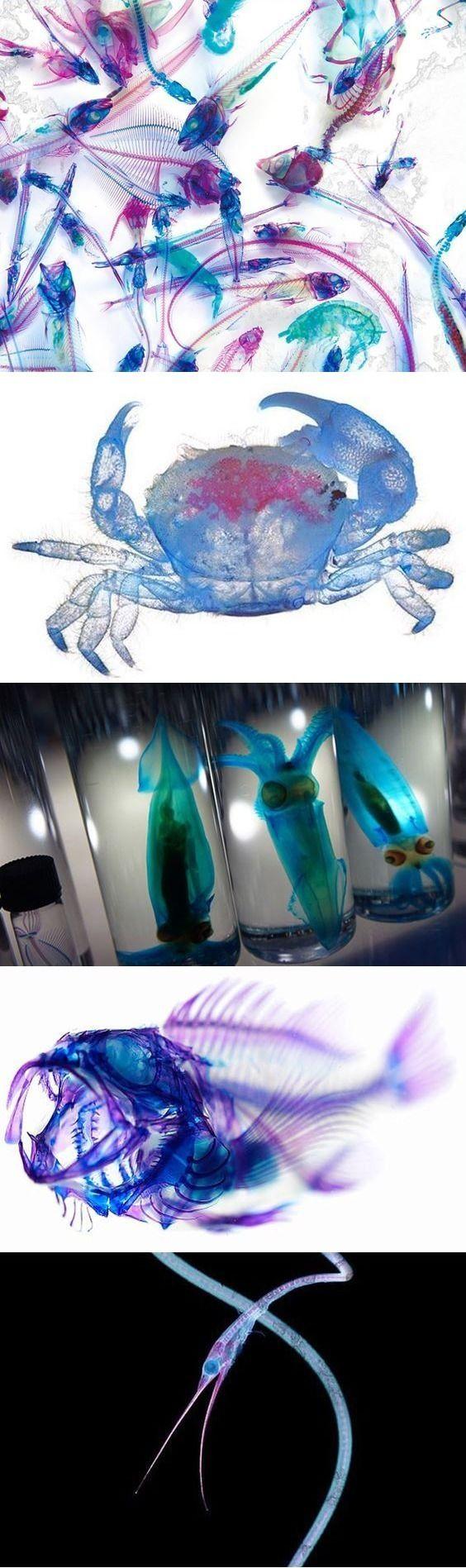 Коллекция препарированных морских животных от японского художника Йори Томита. Метод изготовления прозрачных образцов животных для изучения построения их скелетов используется в науке. Сначала с помощью специальных ферментов разрушают белок (обесцвечивают ткани), потом в кости вводят красный краситель (фуксин или красную анилиновую краску), а в хрящи – синий. Йори говорит: «Я создаю не препарированные образцы, а художественные произведения, которые помогают людям приблизиться к чудесам…