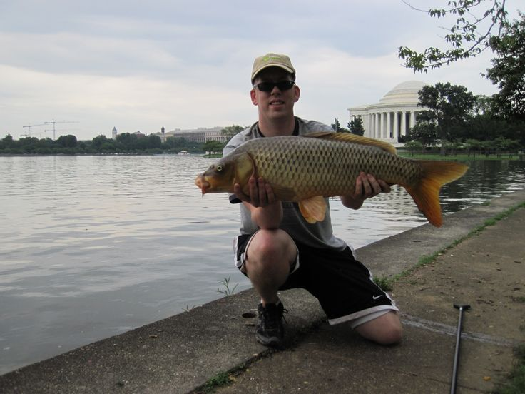 A nice 25 lb common carp from the Jefferson Tidal basin in Washington DC.