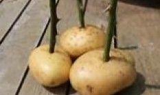 Amate le rose? Provate a coltivarle sul vostro terrazzo o balcone, con l'aiuto di una patata. Ecco come fare