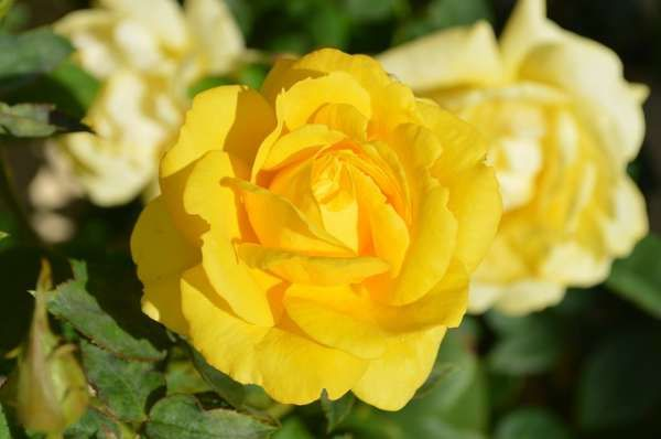 35 Splendid Types Of Yellow Flowers You Will Fall In Love With Yellow Rose Flower Beautiful Rose Flowers Images Beautiful Rose Flowers