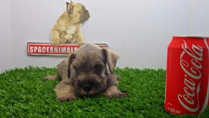 Schnauzer Mniatura Sal pimienta Aquí encontrarás ofertas, descuentos, paquetes en cachorros de raza Schnauzer miniatura transportadoras , envió y Microchip GRATIS y más al mejor precio del mercado los encuentras aquí en http://www.VentadeCachorrosPerros.com/ ¡Entra Gratis! entrega Garantizada. Ventas por Teléfono: (01)(229) 2.60.31.86 / (01229) 3.06.02.03 / ID Nextel 42*15*597183 Móvil 22.99.60.60.77 / 22.92.91.20.91 WhatsApp Si estás en el extranjero llámanos al +52 229 260 3186