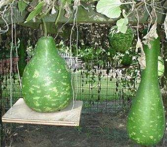 Growing gourds (especially birdhouse varieties) tips and pointers.  With pictures.  After painting my first birdhouse gourds (see previous pin) that were given to me by a friend, I've been inspired to grow oodles of them.  Now I'll know what I'm doing! ;)