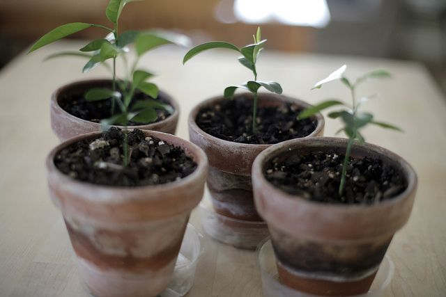growing  grapefruit plants from seeds