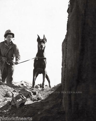 1 of 1 - MARINE CORP WAR DOG PHOTO DOBERMAN CHECKING CAVE FOR ENEMY IWO JIMA WWII #20949