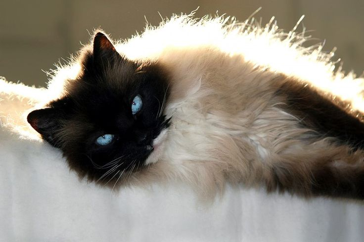 ... cat care for the ragdoll cat breed these cat care tips are not only - Caring for cat at Catsincare.com!- Top cats Tips at Catsincare.com!