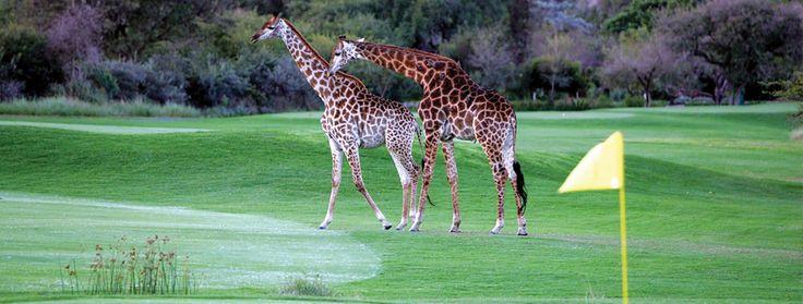 #LeopardCreek #LukimbiSafariLodge #KrugerNationalPark #SouthAfrica #GolfHolidays #LuxuryGolfTravel http://www.elegantgolfresorts.com/luxury-destinations/golf-holidays-in-africa/south-africa/lukimbi-safari-lodge