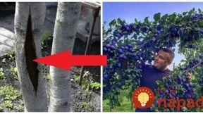 100-rokov stará rada od záhradkára, ktorú na jar vyvážite zlatom: Len oprite o strom bielu palicu, túto fintu by mal poznať každý, kto chce úrodu ovocia!