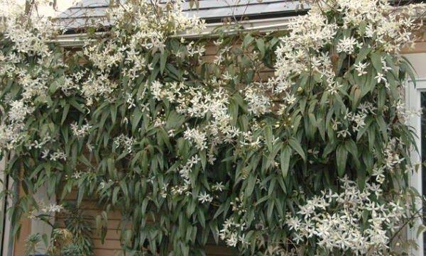 Clematis Armandii   Florece en primavera De hoja perenne Plantarla en zona soleada