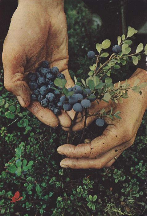 : Farm, Inspiration, National Geographic, Wild Blueberries, Things, Garden, Fresh Fruit