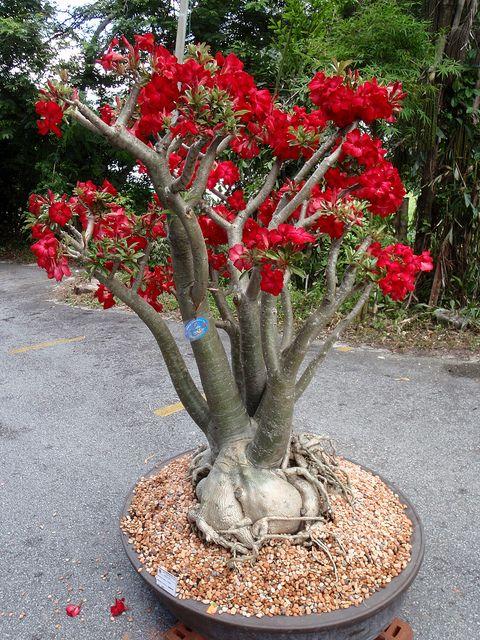 Adenium Obesum Desert Rose - Penang Botanical Gardens