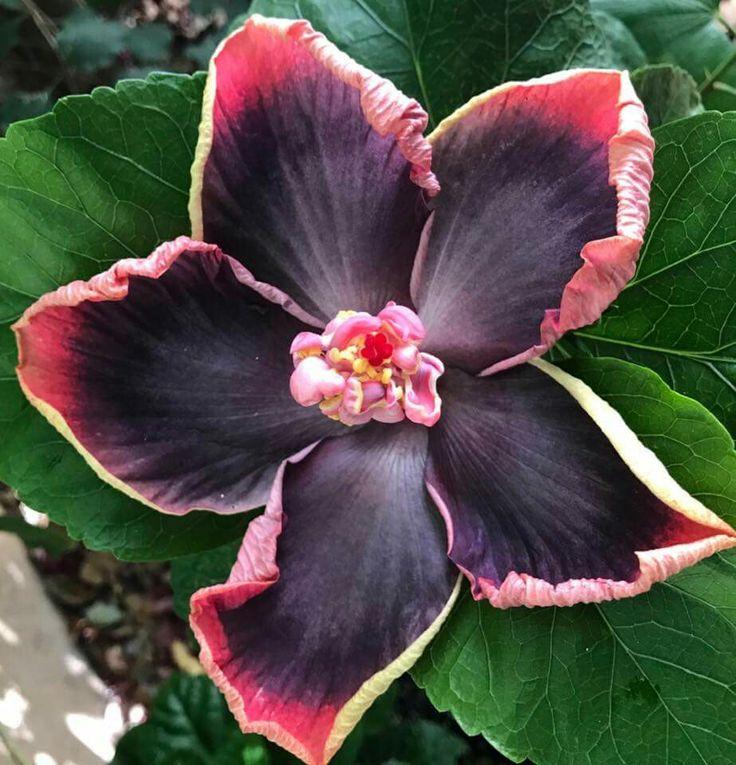 die besten 25 hibiskus winterhart ideen auf pinterest hibiscus pflanze roter frangipani. Black Bedroom Furniture Sets. Home Design Ideas