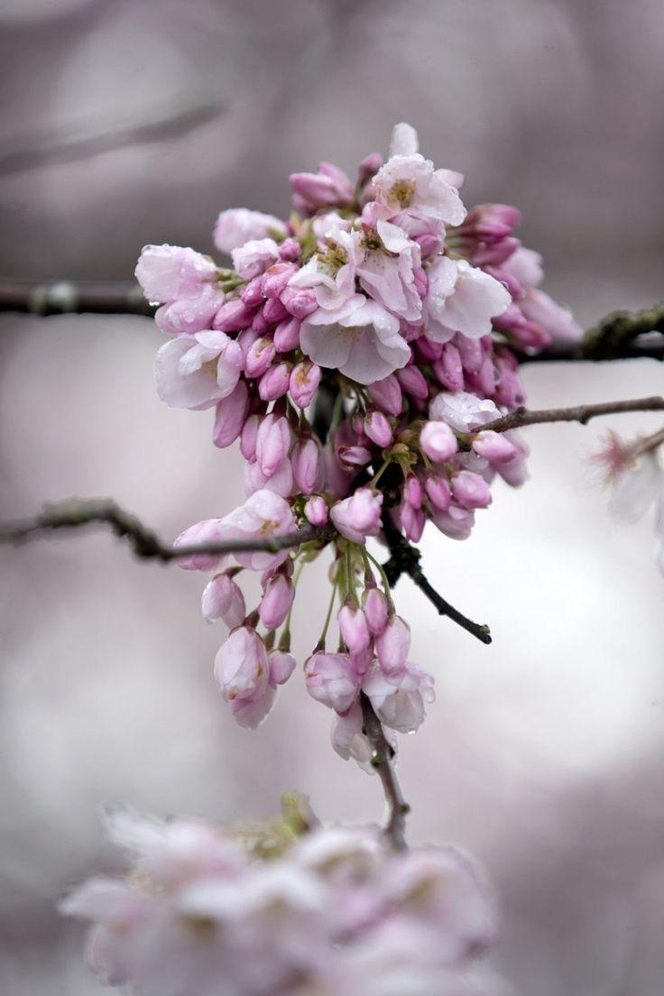 Portland's cherry blossoms a magnificent sight, rain or shine