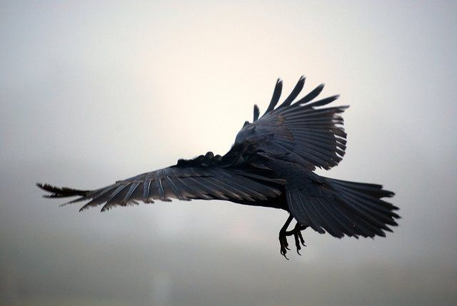 As the crow (or raven) flies...