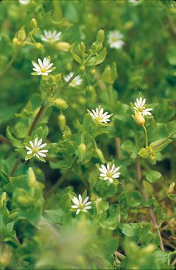 Widely known and despised as a weed, chickweed (Stellaria media) is also a nourishing salad green or potherb that's available almost year-round in much of the country. Learn more.