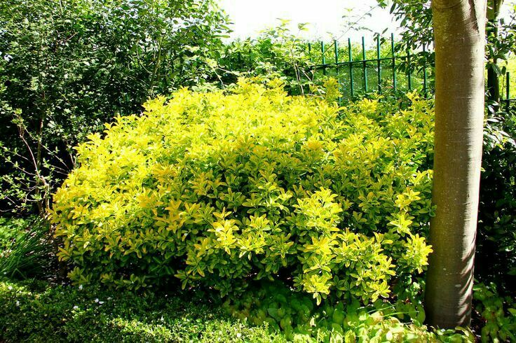 Golden Eunonymus 8'-10' Tall 4'-6' Wide Evergreen	No Blooms Plant in any lighting conditions and in any type of soil.	Fast to Medium Growth Rate www.greenprintLED.com