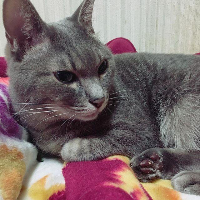 久々の❤️ Lee様╰(*´︶`*)╯♡ リクエストいただいたので❤️笑 載せちゃいます〜〜(*´ω`*) #猫 #ねこ #ネコ #愛猫 #猫愛 #cat #love #長崎県 #焼き物公園 #生まれ #福岡育ち #福岡猫 #ママの #leeさん #だけど #ねーちゃんも #愛してるよ #照 #リクエスト #ありがとうございます