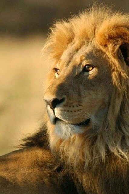 Lion posing #mountziontours
