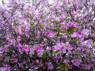 Bauhinia variegata. Pata de Vaca. Árbol Orquídea.