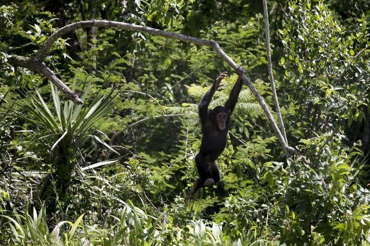 Het Hooggerechtshof in New York hoorde pleidooien in een zaak rond chimpansee Tommy die volgens een dierenrechtengroep bevrijd moet worden omdat hij wettelijk een persoon is en dus niet tegen zijn zin in een kooi of een hok mag gestopt worden--ACTUEEL (dierenrechten)