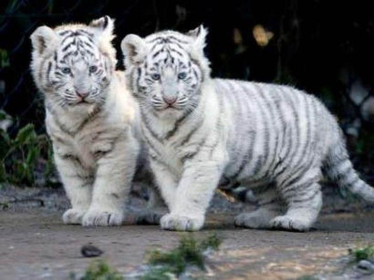 White Lion And White Tiger Wallpaper