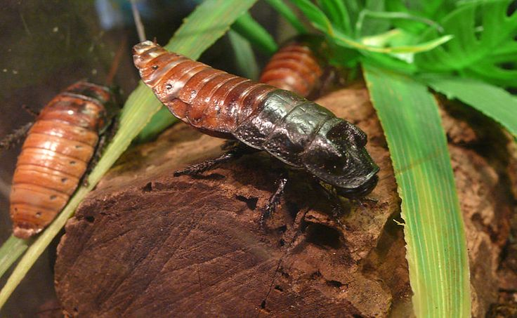 The hiss of a Madagascar hissing cockroach colony is about as loud as a lawnmower! Click here to read more about this amazing animal!