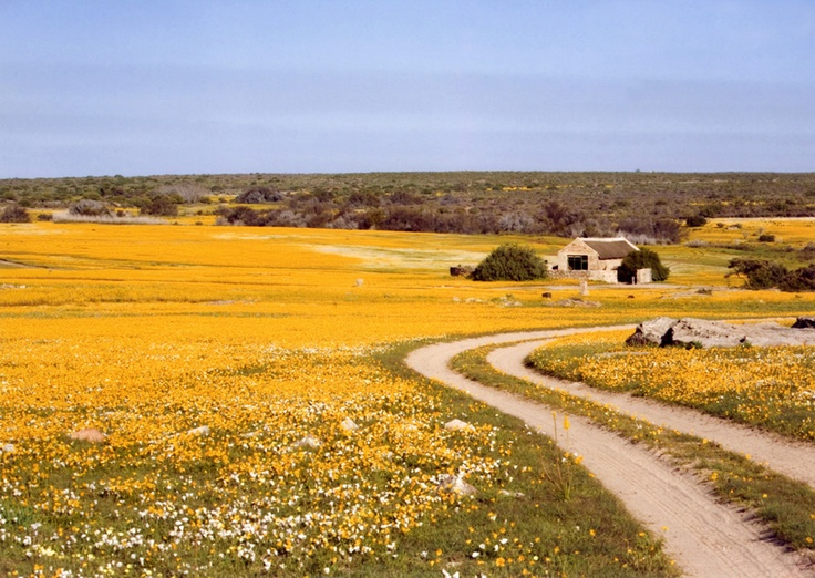 Spring flowers in the veld near Calvinia - Namaqualand - Northern Cape - South Africa.