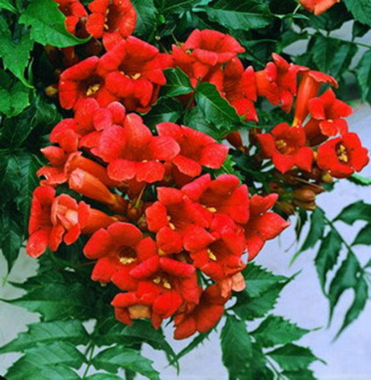 Rare Dark Red Hummingbird Trumpet Vine! HARDY! 20 seeds! HummingBirds Love It!