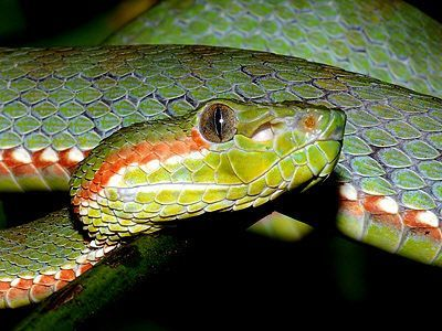 Siamese Peninsula Pit Viper (Popeia fucata) found in southern Thailand and Peninsular Malaysia, with an apparent stronghold on Pulau Langkawi.