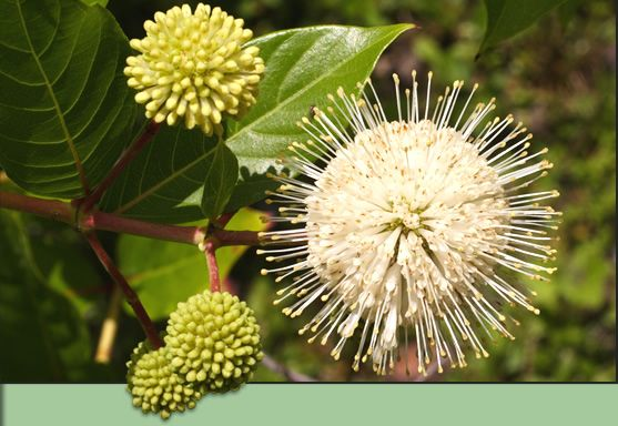 Buttonbush. Florida native plants | ... Choice Nursery - Learn about gardening with native Florida plants