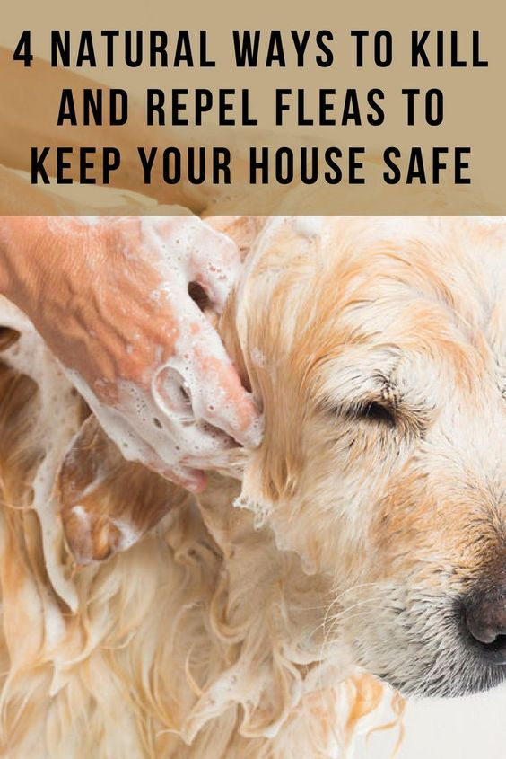 4 natural ways to kill and repel fleas to keep your house safe - Keep your home safe from fleas (and nasty chemicals!) with these natural flea killers! Natural Flea Repellent Recipes | DIY Natural Pet Recipes | Frugal