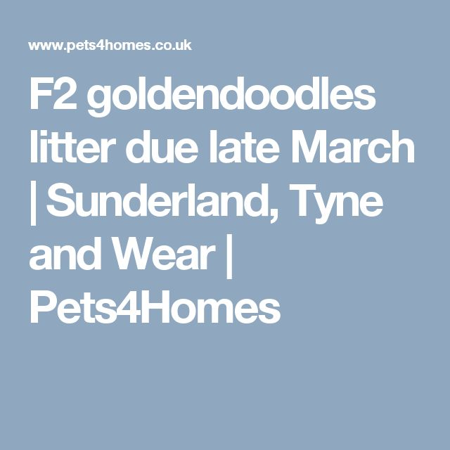 F2 goldendoodles litter due late March | Sunderland, Tyne and Wear | Pets4Homes