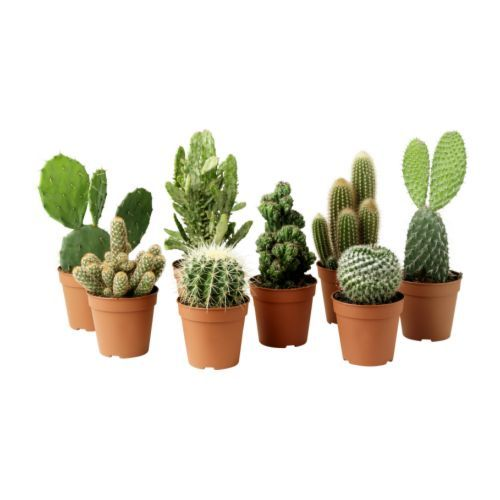 Cactus plants and living rooms on pinterest