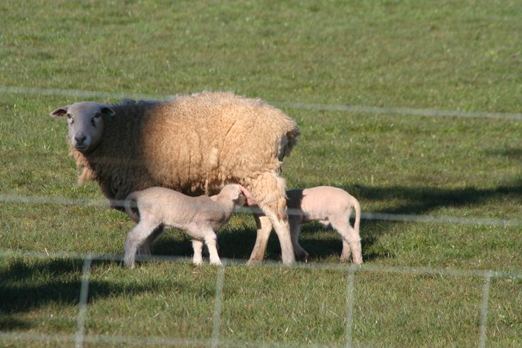 This mumma has here hands full. She has 3. The third is around the otherside. www.theoldfrenchdoors.blogspot.com