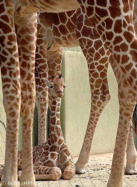 Unimpressed baby giraffe has seen better legs...