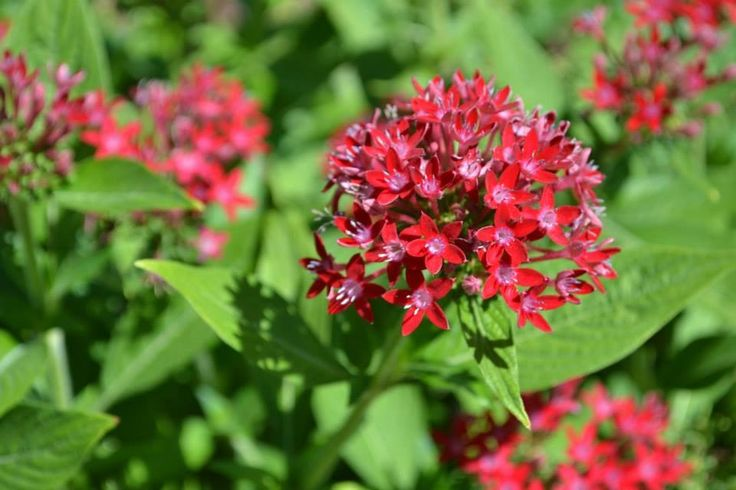 Pentas flower drought and heat tolerant flowers spring through fall can double triple its - Flowers that love full sun and heat ...